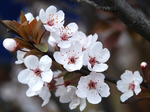 Cherry Blossom Blooms In Gucun Park In Shanghai Cits